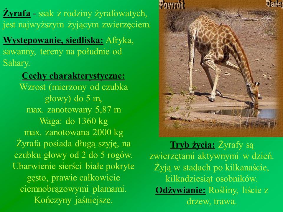 Żyrafa - ssak z rodziny żyrafowatych, jest najwyższym żyjącym zwierzęciem. Występowanie, siedliska: Afryka, sawanny, tereny na południe od Sahary. Cec