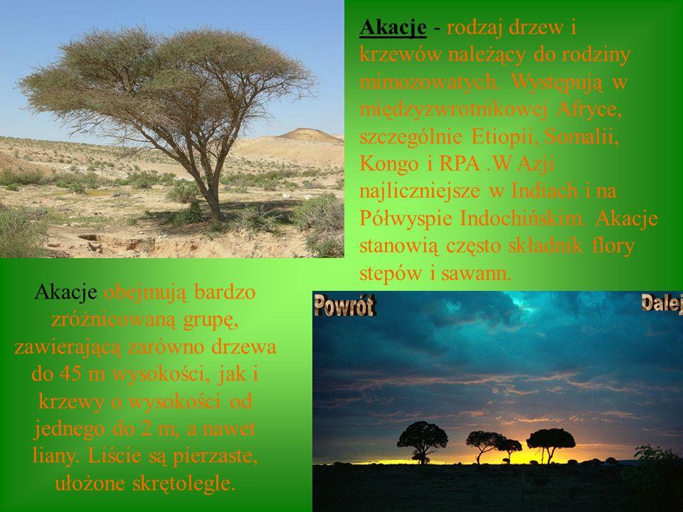 Akacje - rodzaj drzew i krzewów należący do rodziny mimozowatych. Występują w międzyzwrotnikowej Afryce, szczególnie Etiopii, Somalii, Kongo i RPA.W A