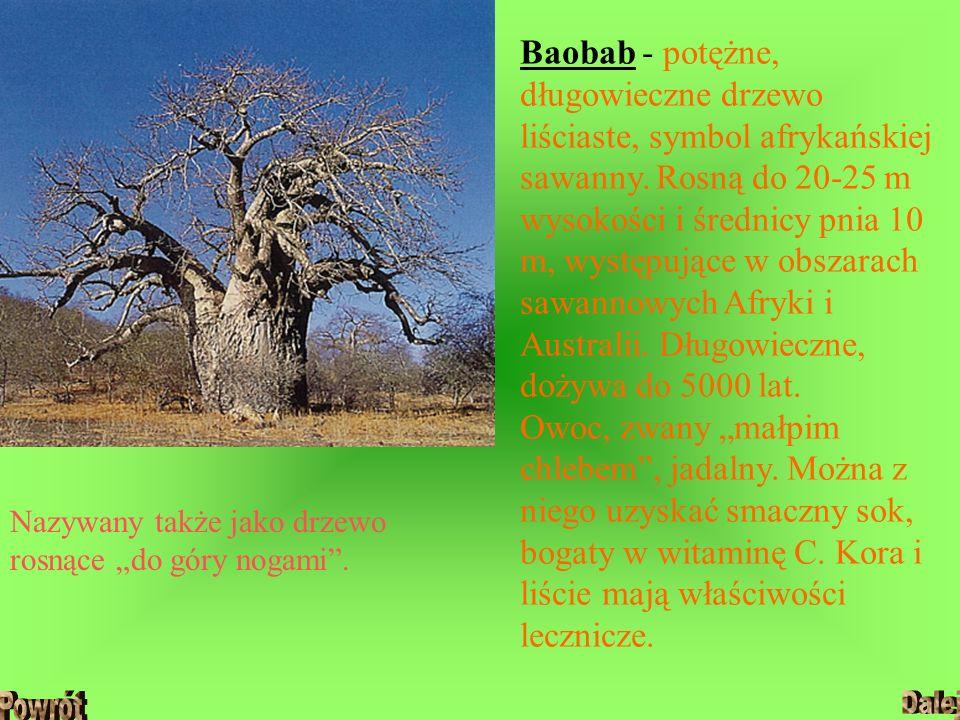 Baobab - potężne, długowieczne drzewo liściaste, symbol afrykańskiej sawanny. Rosną do 20-25 m wysokości i średnicy pnia 10 m, występujące w obszarach