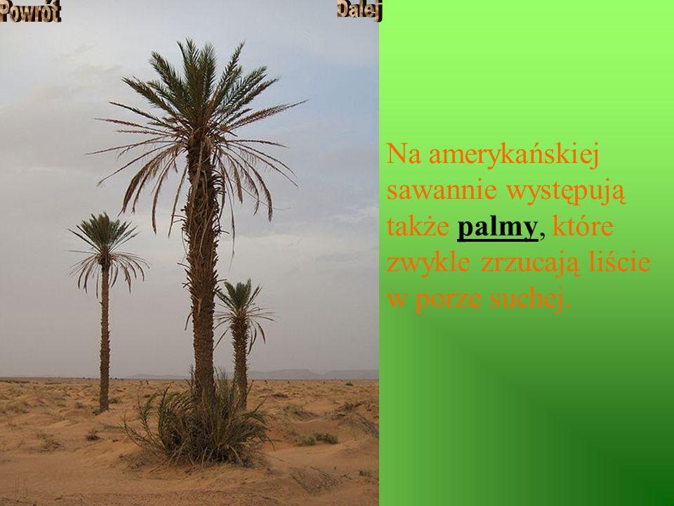 Na amerykańskiej sawannie występują także palmy, które zwykle zrzucają liście w porze suchej.