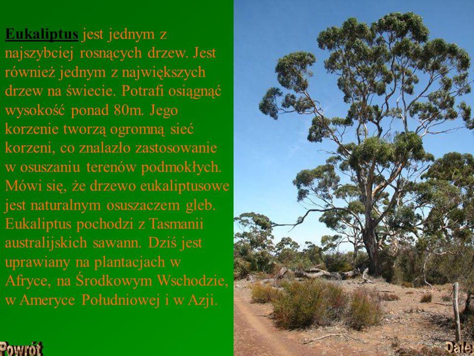 Eukaliptus jest jednym z najszybciej rosnących drzew. Jest również jednym z największych drzew na świecie. Potrafi osiągnąć wysokość ponad 80m. Jego k