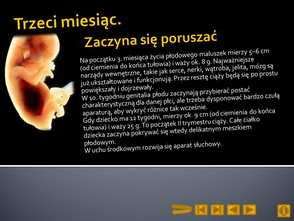 Na początku 3. miesiąca życia płodowego maluszek mierzy 5–6 cm (od ciemienia do końca tułowia) i waży ok. 8 g. Najważniejsze narządy wewnętrzne, takie