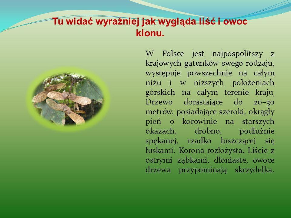 W Polsce jest najpospolitszy z krajowych gatunków swego rodzaju, występuje powszechnie na całym niżu i w niższych położeniach górskich na całym tereni