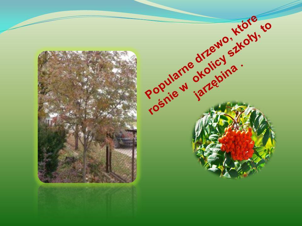 Popularne drzewo, które rośnie w okolicy szkoły, to jarzębina.