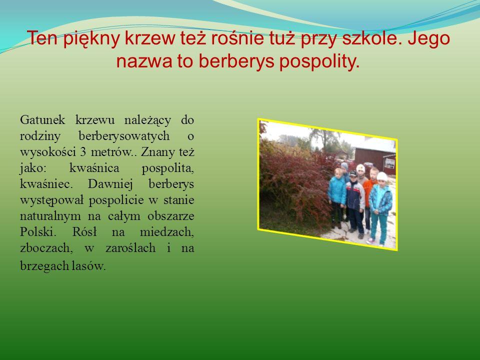Ten piękny krzew też rośnie tuż przy szkole. Jego nazwa to berberys pospolity. Gatunek krzewu należący do rodziny berberysowatych o wysokości 3 metrów