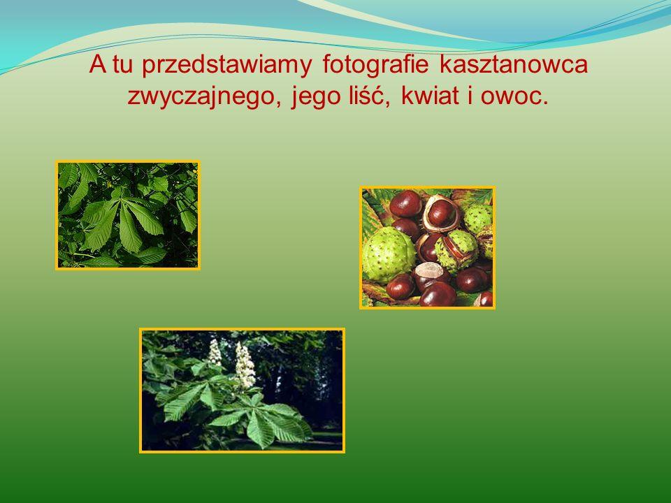 A tu przedstawiamy fotografie kasztanowca zwyczajnego, jego liść, kwiat i owoc.