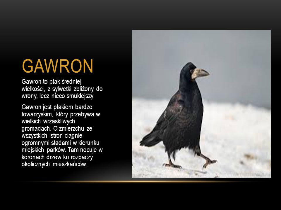 GAWRON Gawron to ptak średniej wielkości, z sylwetki zbliżony do wrony, lecz nieco smuklejszy Gawron jest ptakiem bardzo towarzyskim, który przebywa w wielkich wrzaskliwych gromadach.