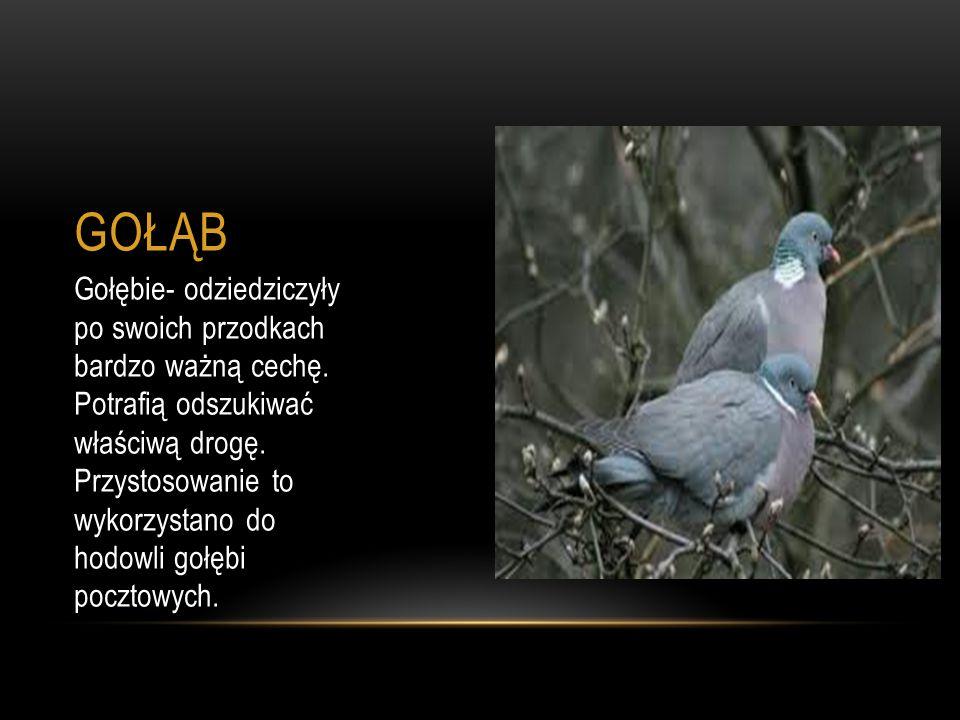GOŁĄB Gołębie- odziedziczyły po swoich przodkach bardzo ważną cechę. Potrafią odszukiwać właściwą drogę. Przystosowanie to wykorzystano do hodowli goł