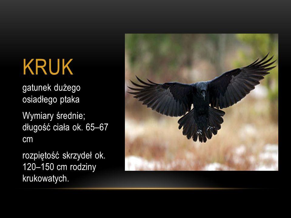 KRUK gatunek dużego osiadłego ptaka Wymiary średnie; długość ciała ok. 65–67 cm rozpiętość skrzydeł ok. 120–150 cm rodziny krukowatych.