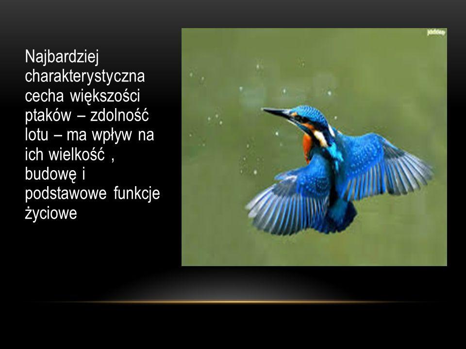 Najbardziej charakterystyczna cecha większości ptaków – zdolność lotu – ma wpływ na ich wielkość, budowę i podstawowe funkcje życiowe