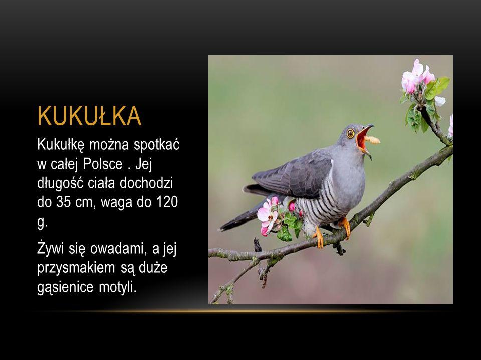 KUKUŁKA Kukułkę można spotkać w całej Polsce. Jej długość ciała dochodzi do 35 cm, waga do 120 g. Żywi się owadami, a jej przysmakiem są duże gąsienic