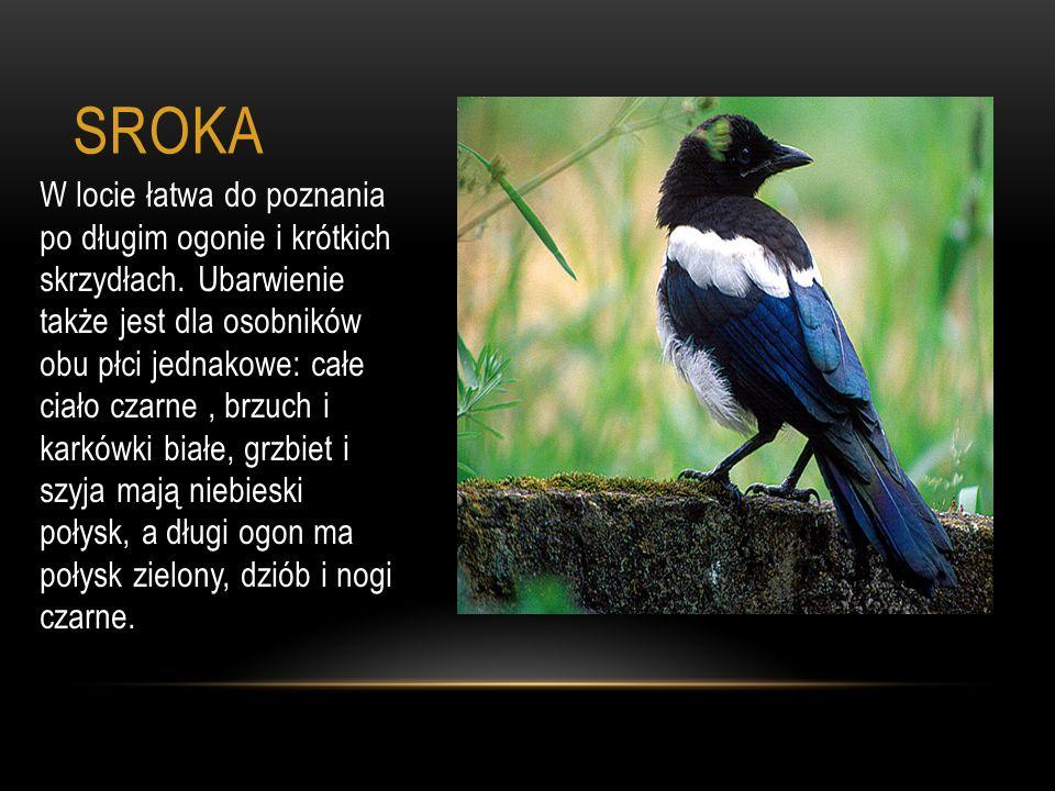 SROKA W locie łatwa do poznania po długim ogonie i krótkich skrzydłach. Ubarwienie także jest dla osobników obu płci jednakowe: całe ciało czarne, brz