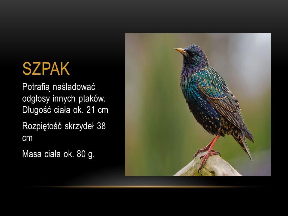 SZPAK Potrafią naśladować odgłosy innych ptaków. Długość ciała ok. 21 cm Rozpiętość skrzydeł 38 cm Masa ciała ok. 80 g.