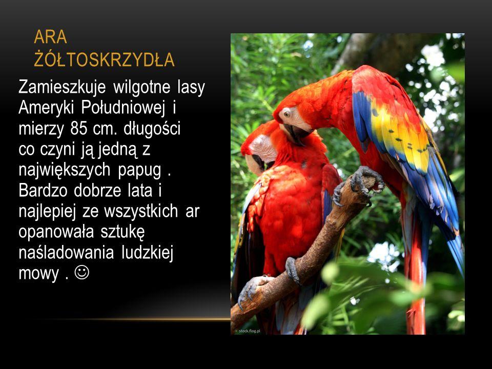 ARA ŻÓŁTOSKRZYDŁA Zamieszkuje wilgotne lasy Ameryki Południowej i mierzy 85 cm. długości co czyni ją jedną z największych papug. Bardzo dobrze lata i