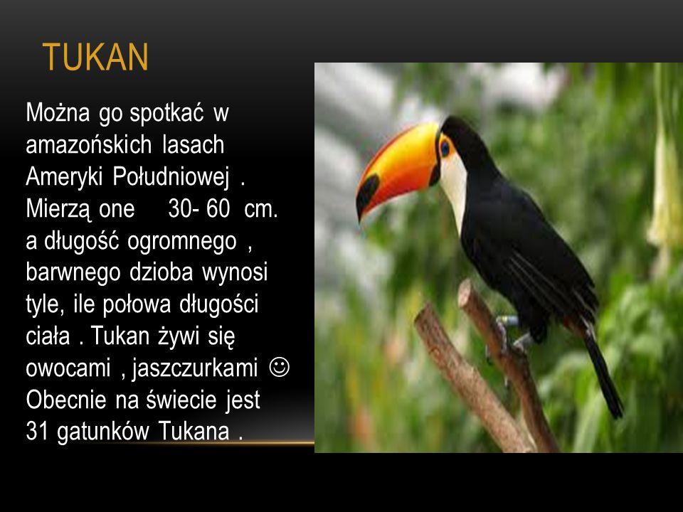 TUKAN Można go spotkać w amazońskich lasach Ameryki Południowej. Mierzą one 30- 60 cm. a długość ogromnego, barwnego dzioba wynosi tyle, ile połowa dł