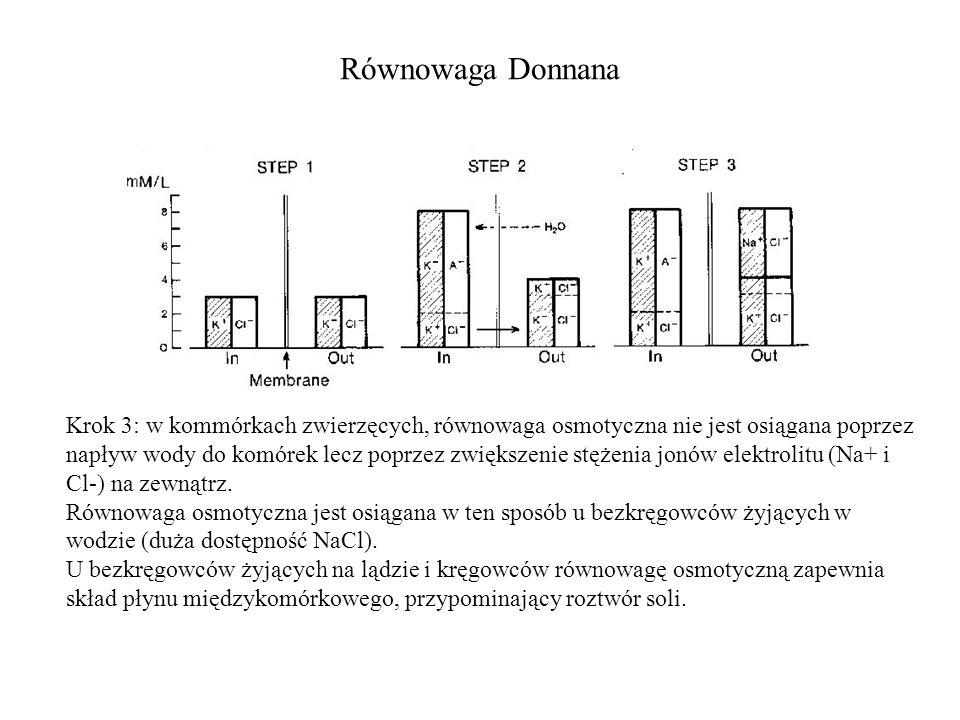 Równowaga Donnana Krok 3: w kommórkach zwierzęcych, równowaga osmotyczna nie jest osiągana poprzez napływ wody do komórek lecz poprzez zwiększenie stężenia jonów elektrolitu (Na+ i Cl-) na zewnątrz.
