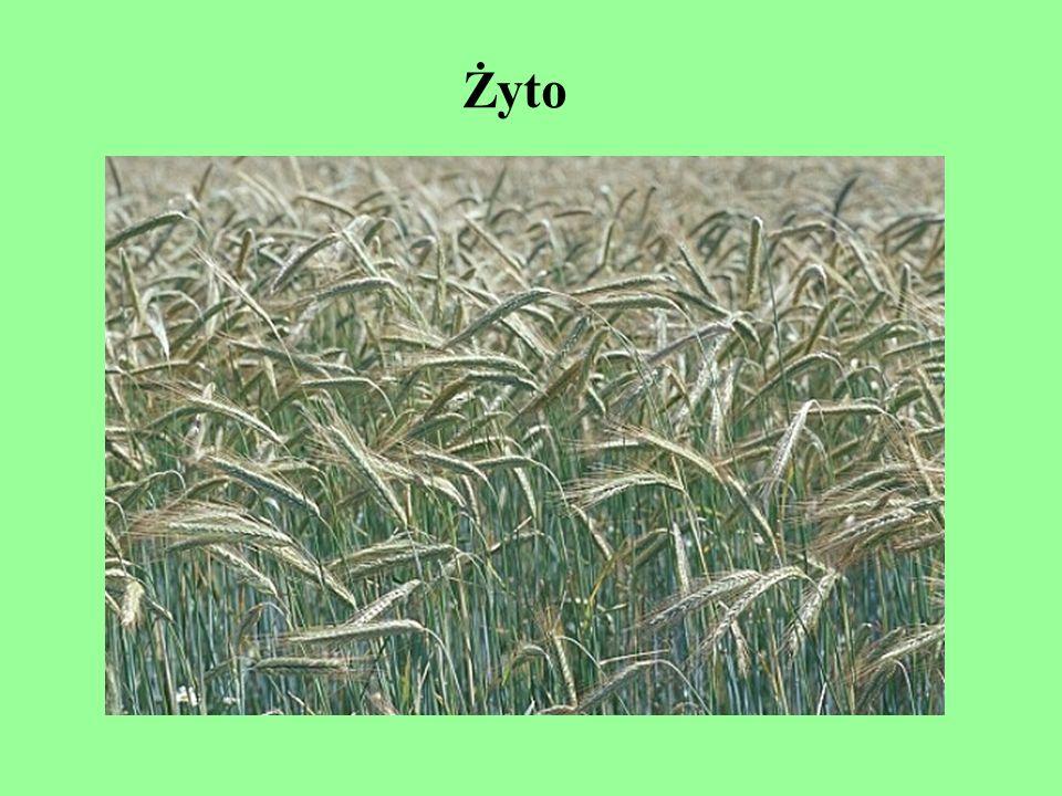 Odmiany »W krajowym rejestrze znajdują się dwie odmiany żyta jarego i 32 ozimego, z których 20 to odmiany populacyjne; jedna – syntetyczna, dziesięć – odmiany mieszańcowe oraz jedna populacyjna, przeznaczona do uprawy na zielonkę.