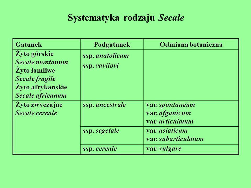 Systematyka rodzaju Secale GatunekPodgatunekOdmiana botaniczna Żyto górskie Secale montanum Żyto łamliwe Secale fragile Żyto afrykańskie Secale africa