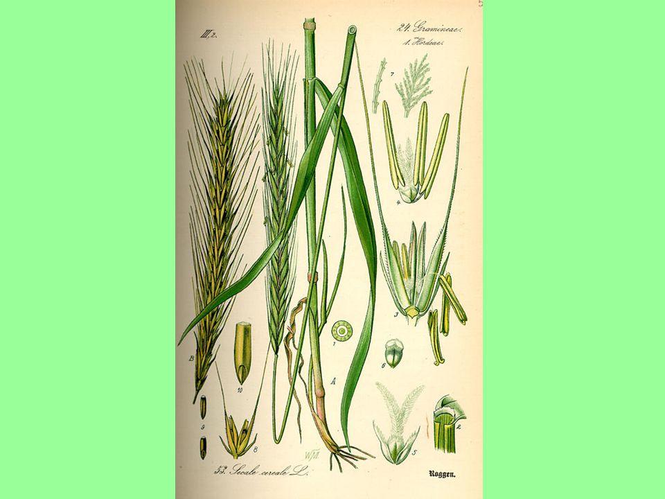 Żyto spośród wszystkich zbóż ma najlepiej rozwinięty system korzeniowy.