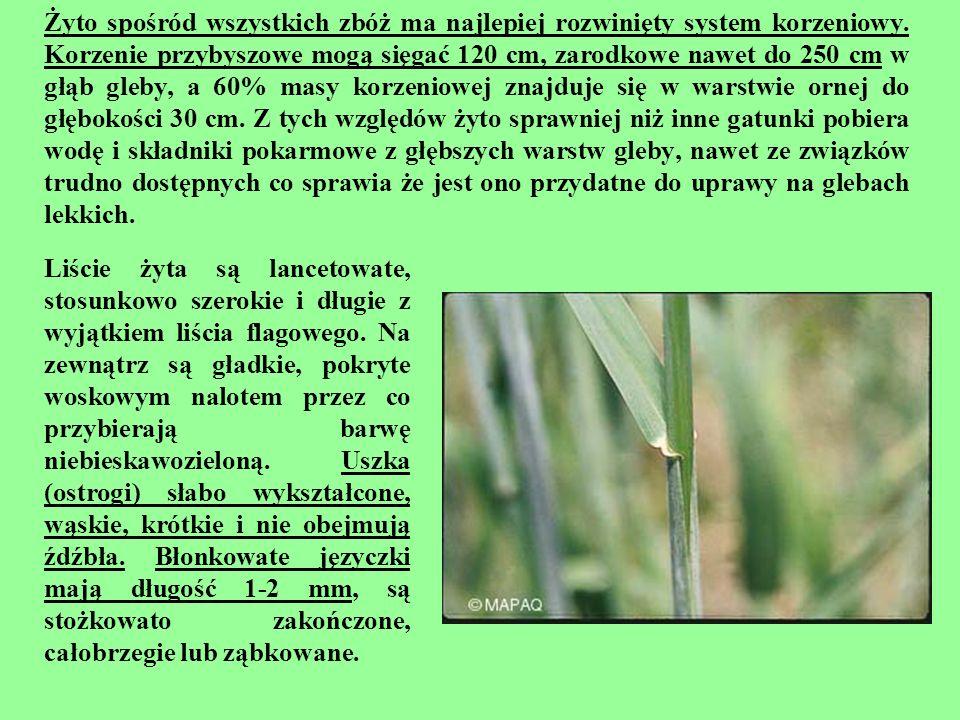 Żyto spośród wszystkich zbóż ma najlepiej rozwinięty system korzeniowy. Korzenie przybyszowe mogą sięgać 120 cm, zarodkowe nawet do 250 cm w głąb gleb