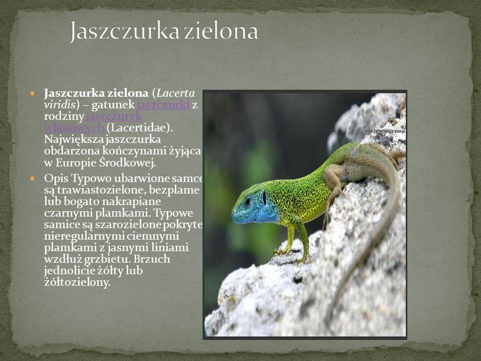 Jaszczurka zielona (Lacerta viridis) – gatunek jaszczurki z rodziny jaszczurek właściwych (Lacertidae).
