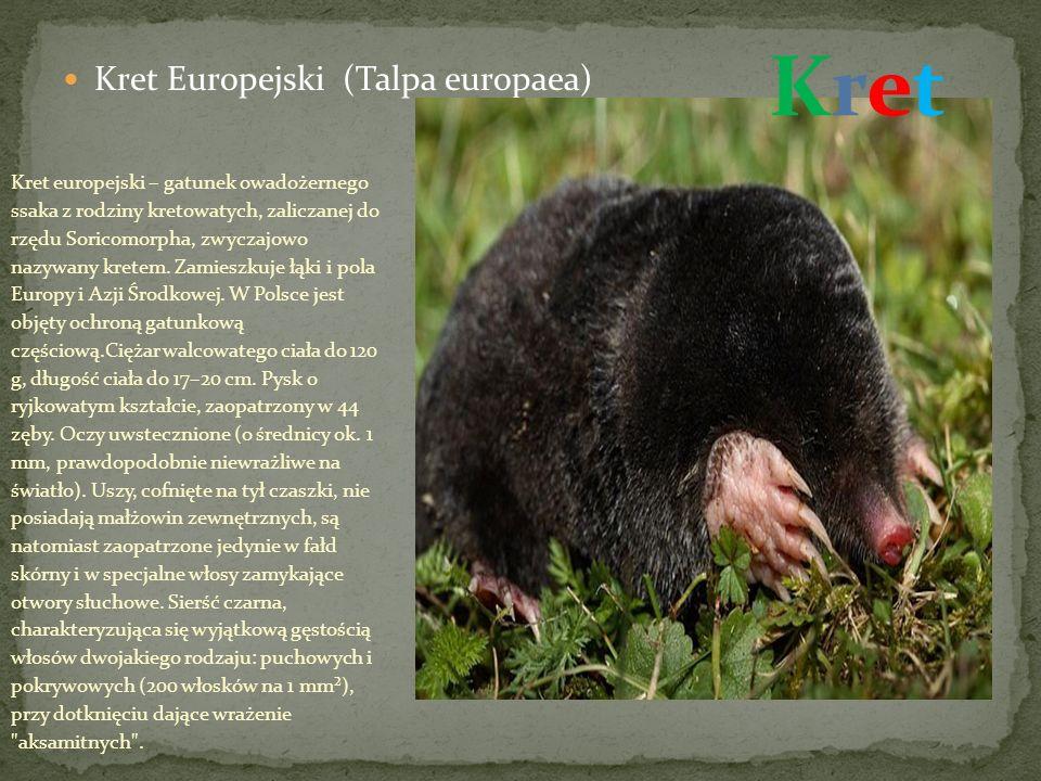 Kret Europejski (Talpa europaea) Kret europejski – gatunek owadożernego ssaka z rodziny kretowatych, zaliczanej do rzędu Soricomorpha, zwyczajowo nazywany kretem.