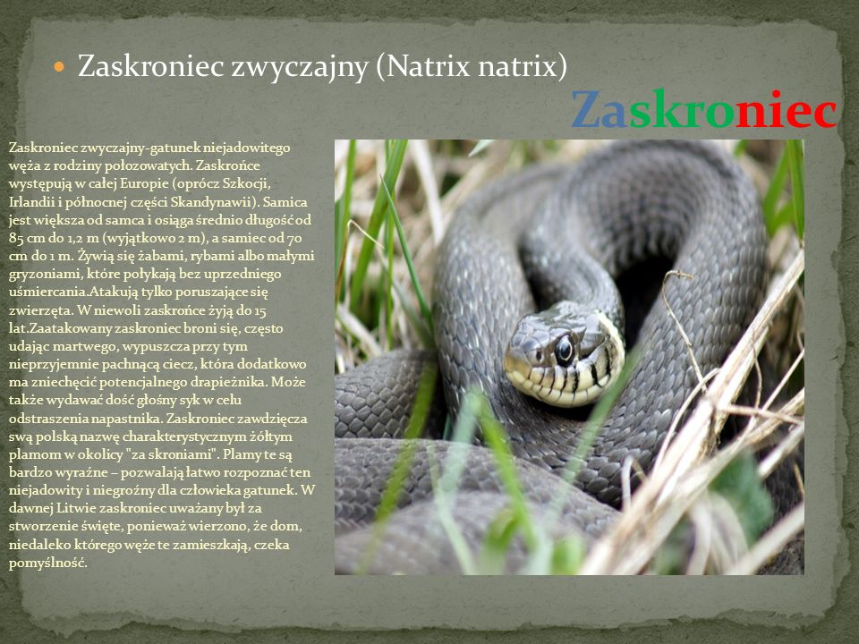 Zaskroniec zwyczajny (Natrix natrix) Zaskroniec zwyczajny-gatunek niejadowitego węża z rodziny połozowatych.