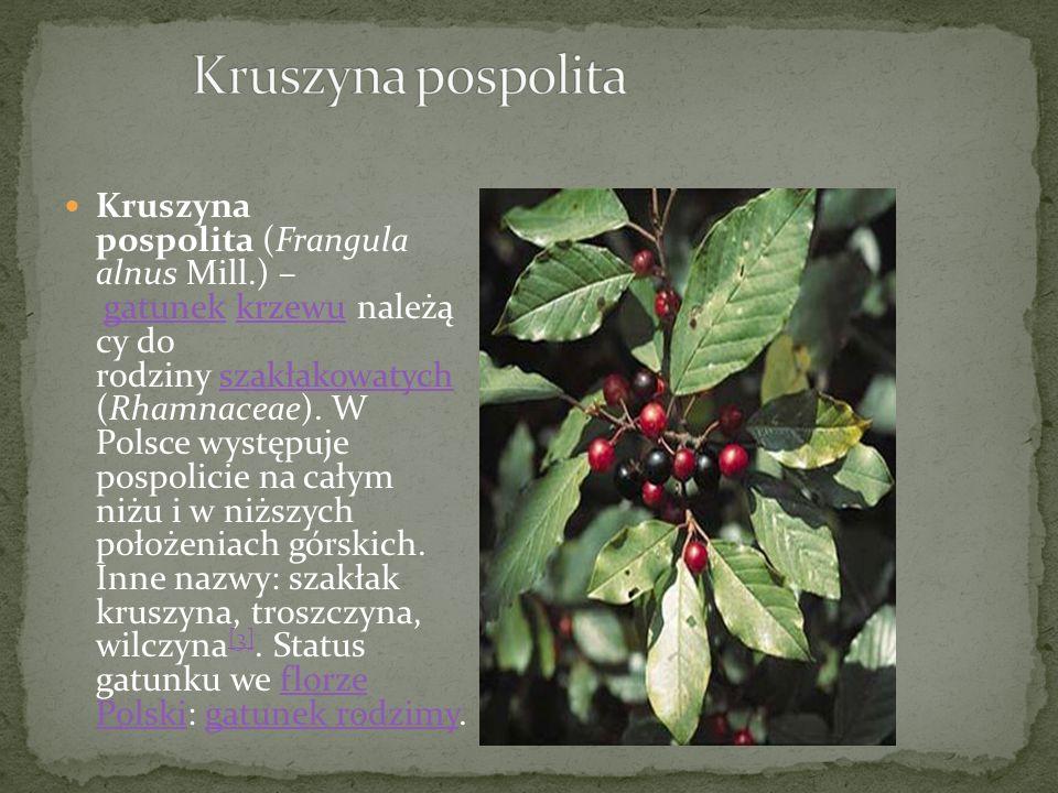 Kruszyna pospolita (Frangula alnus Mill.) – gatunek krzewu należą cy do rodziny szakłakowatych (Rhamnaceae).