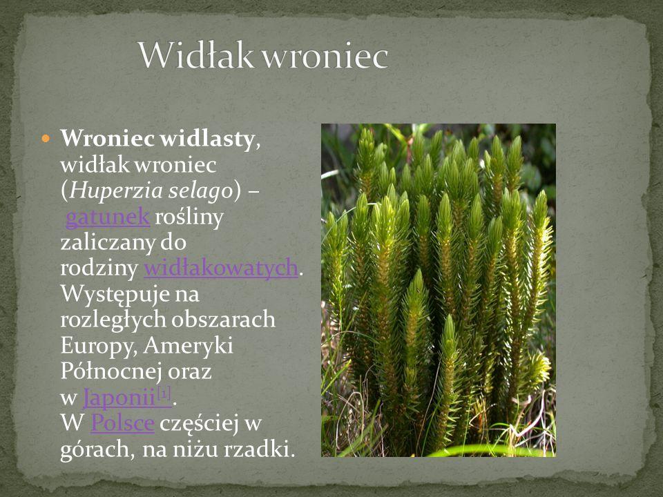 Wroniec widlasty, widłak wroniec (Huperzia selago) – gatunek rośliny zaliczany do rodziny widłakowatych.
