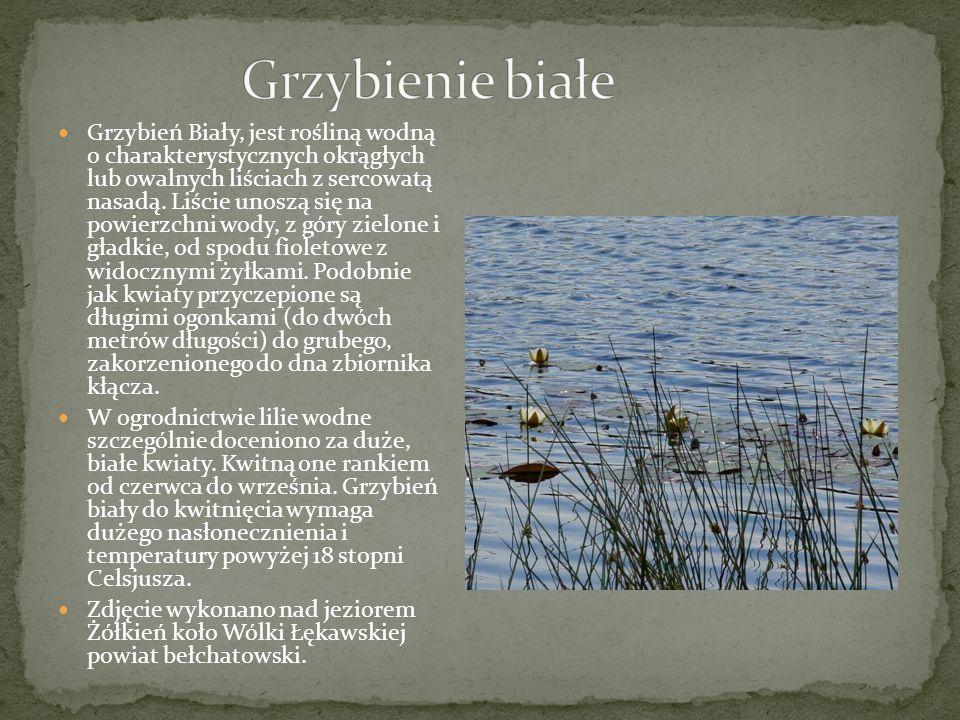 Grzybień Biały, jest rośliną wodną o charakterystycznych okrągłych lub owalnych liściach z sercowatą nasadą.