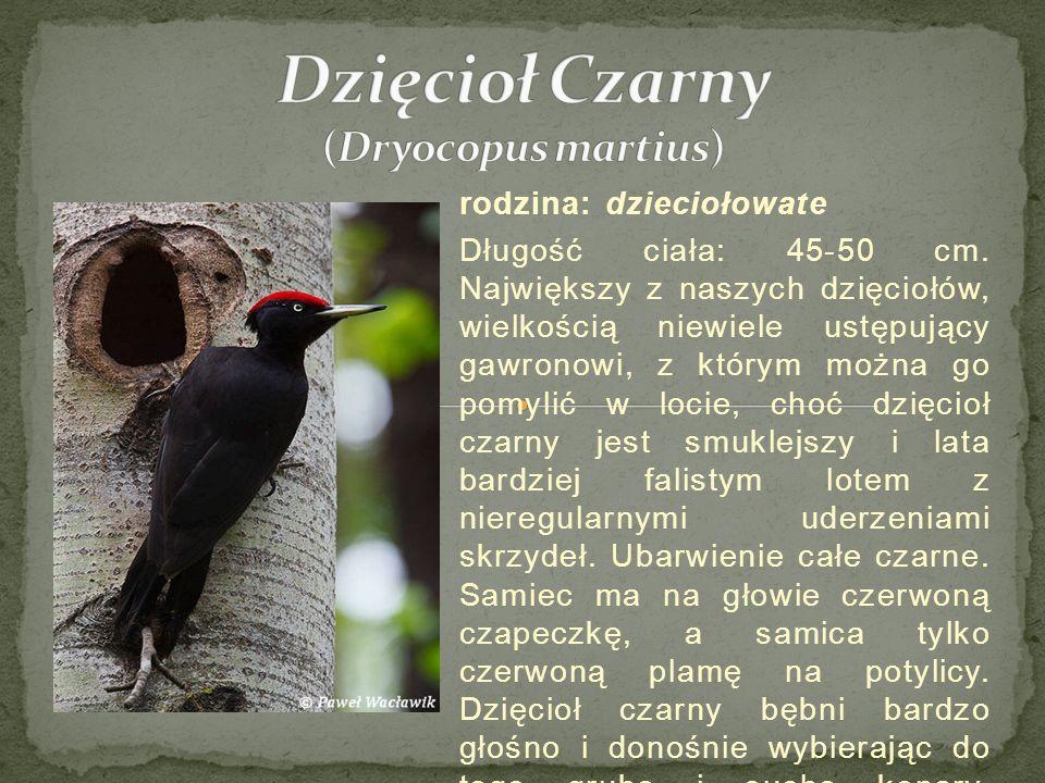 Gniewosz plamisty, miedzianka (Coronella austriaca) Gniewosz plamisty, miedzianka (Coronella austriaca) – gatunek niejadowitego węża z rodziny połozowatych (Colubridae).