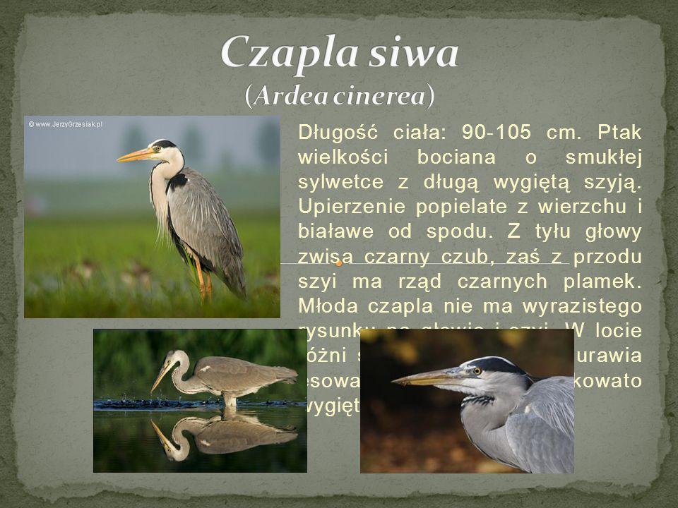 Długość ciała: 90-105 cm.Ptak wielkości bociana o smukłej sylwetce z długą wygiętą szyją.