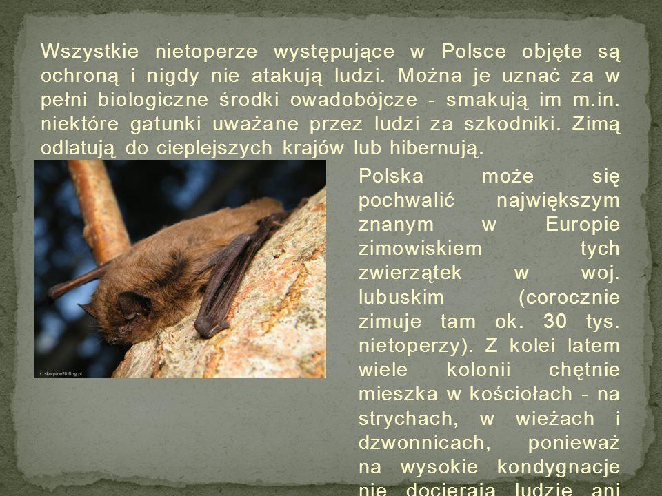 Wszystkie nietoperze występujące w Polsce objęte są ochroną i nigdy nie atakują ludzi.
