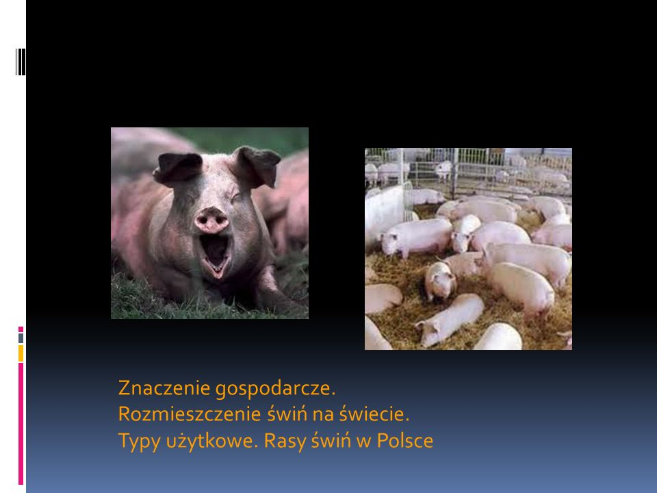 Znaczenie gospodarcze. Rozmieszczenie świń na świecie. Typy użytkowe. Rasy świń w Polsce