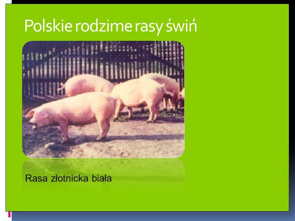 Polskie rodzime rasy świń Rasa złotnicka biała