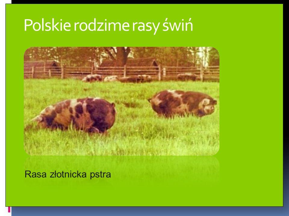 Polskie rodzime rasy świń Rasa złotnicka pstra
