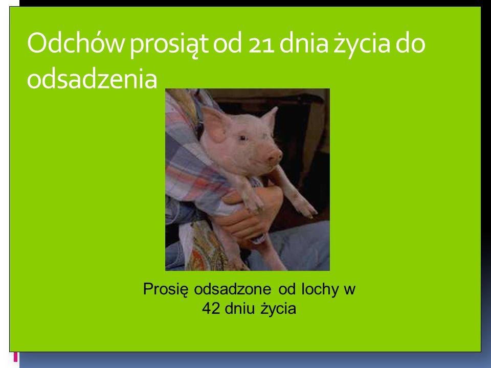 Odchów prosiąt od 21 dnia życia do odsadzenia Prosię odsadzone od lochy w 42 dniu życia
