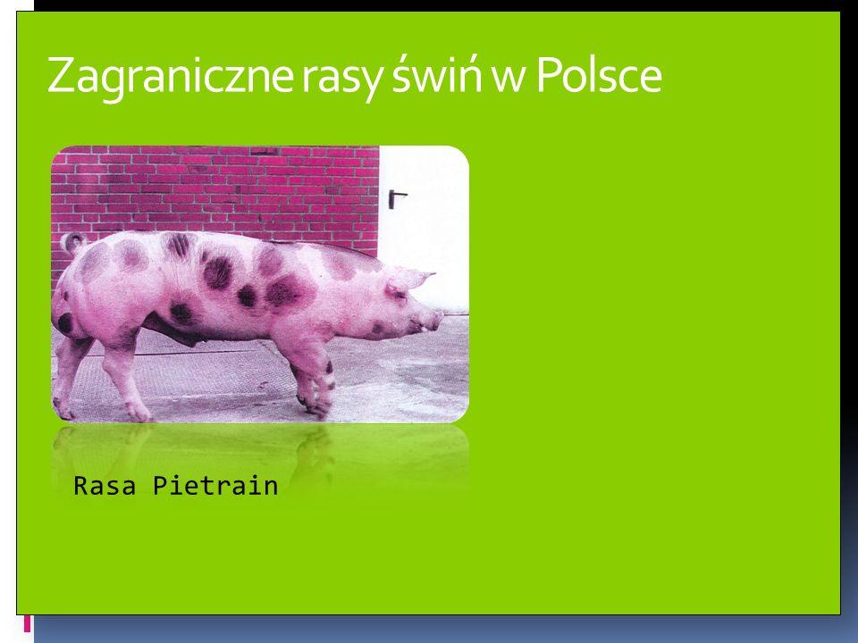 Zagraniczne rasy świń w Polsce Rasa Hampshire