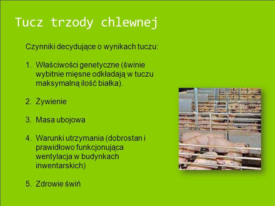 Tucz trzody chlewnej Czynniki decydujące o wynikach tuczu: 1.Właściwości genetyczne (świnie wybitnie mięsne odkładają w tuczu maksymalną ilość białka).