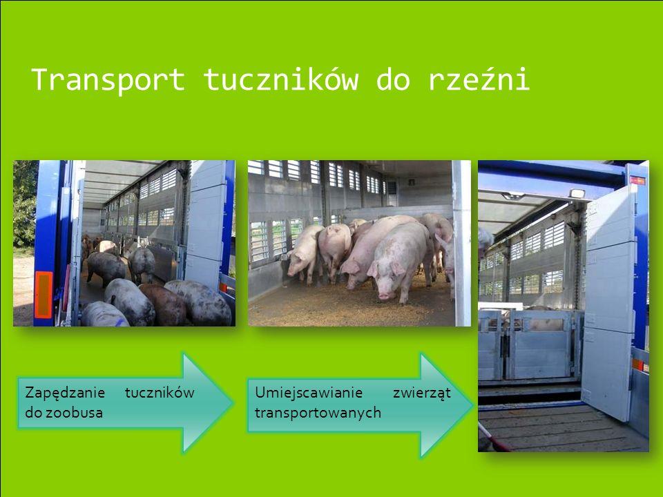 Transport tuczników do rzeźni Zapędzanie tuczników do zoobusa Umiejscawianie zwierząt transportowanych
