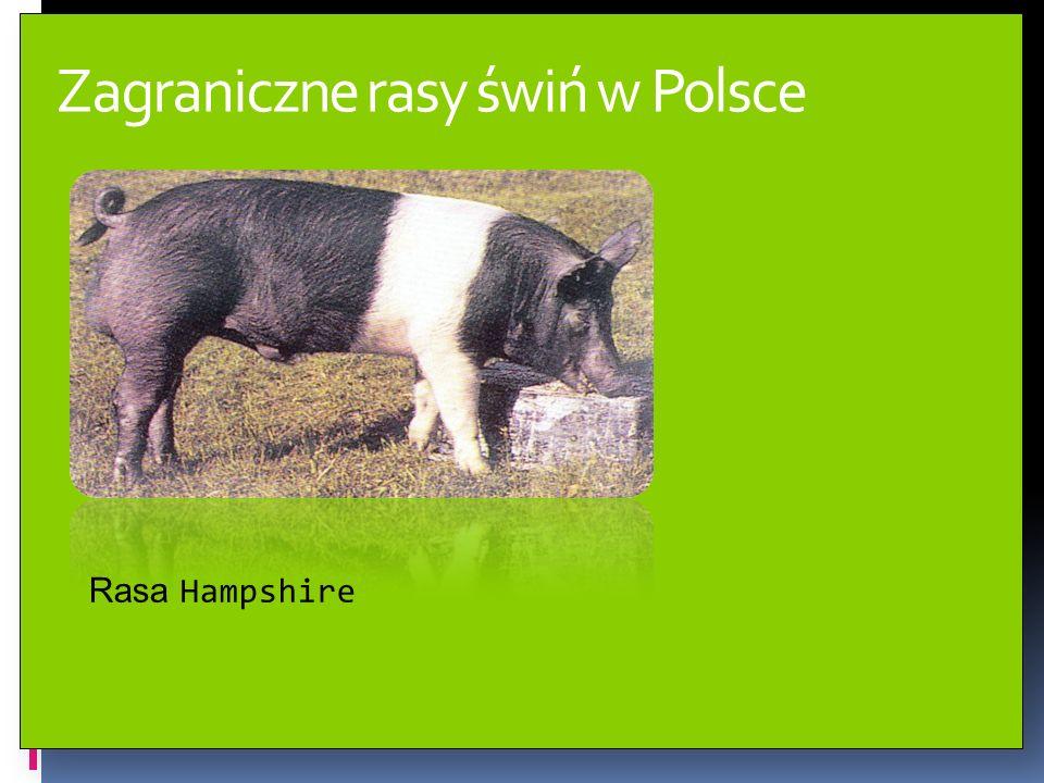 Typy użytkowe świń w Polsce Świnie ras białych zaliczamy do typu użytkowego mięsnego.