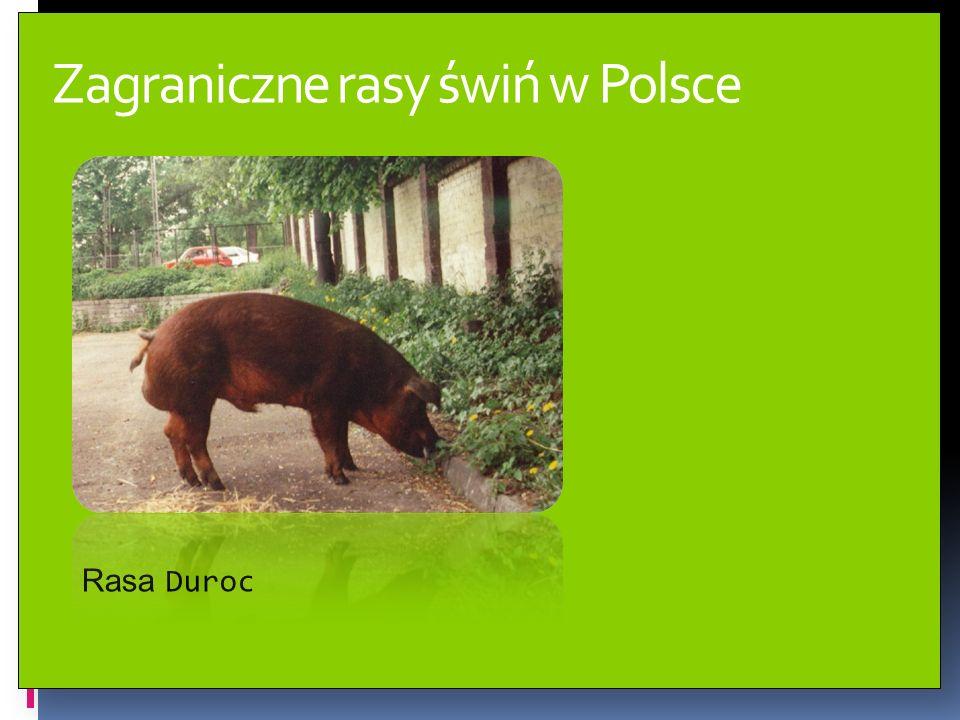 Typy użytkowe świń w Polsce Rasy kolorowe zaliczane są do typu tłuszczowo – mięsnego.