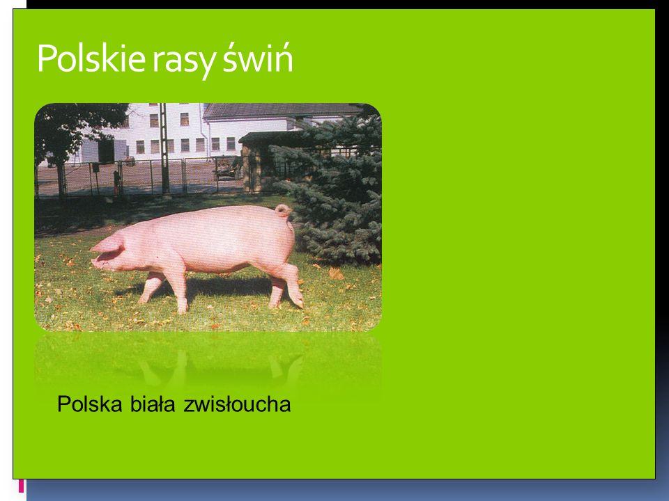 Polskie rasy świń Polska biała zwisłoucha