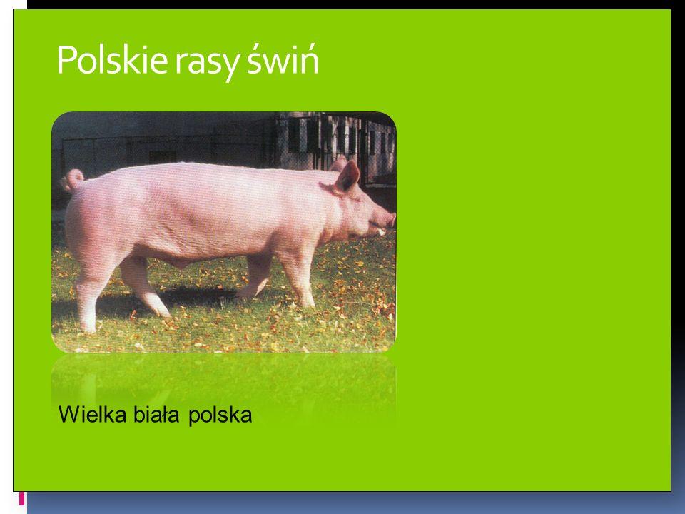 Polskie rasy świń Wielka biała polska
