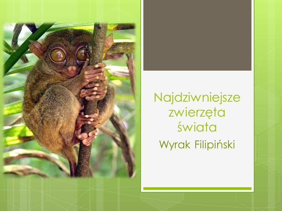 Najdziwniejsze zwierzęta świata Wyrak Filipiński