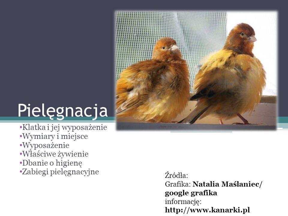 Właściwe żywienie Kanarek należy do ptaków zwanych ziarnojadami.