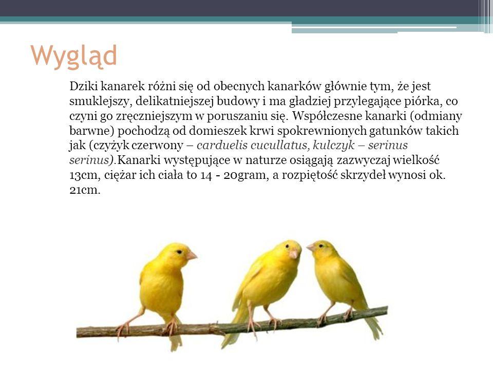 Wygląd Dziki kanarek różni się od obecnych kanarków głównie tym, że jest smuklejszy, delikatniejszej budowy i ma gładziej przylegające piórka, co czyn
