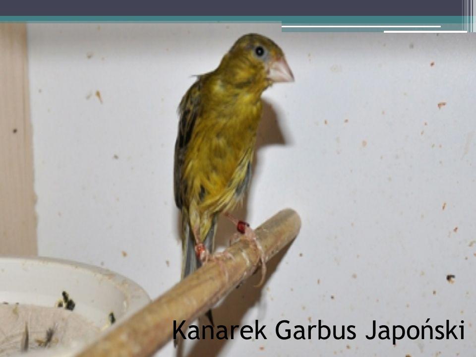 Kanarek Garbus Japoński