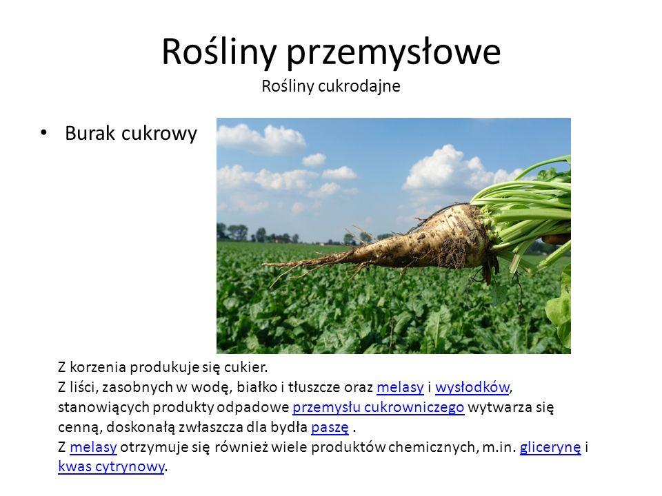 Rośliny przemysłowe Rośliny cukrodajne Burak cukrowy Z korzenia produkuje się cukier.