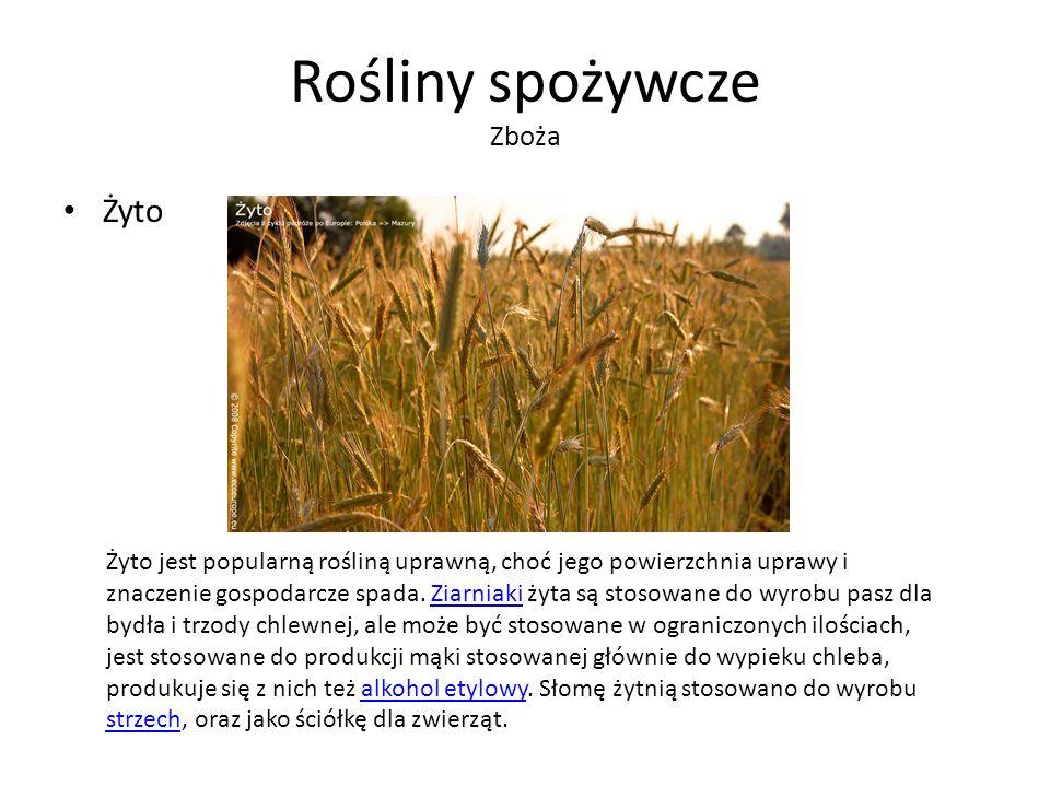 Rośliny spożywcze Zboża Żyto Żyto jest popularną rośliną uprawną, choć jego powierzchnia uprawy i znaczenie gospodarcze spada.